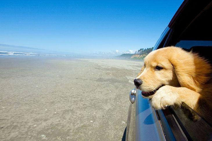 Golden Retriever puppy on road trip