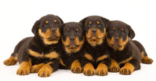 Rottweiler puppies ready to pounce