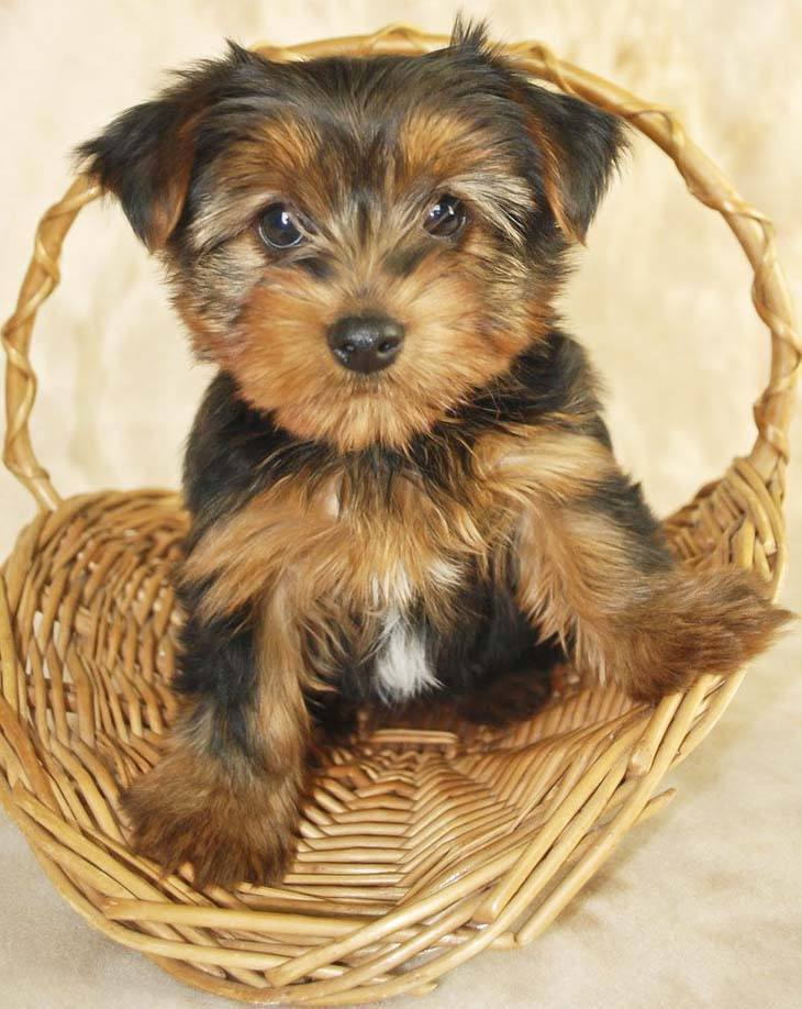 This Yorkie wants to know what your eating