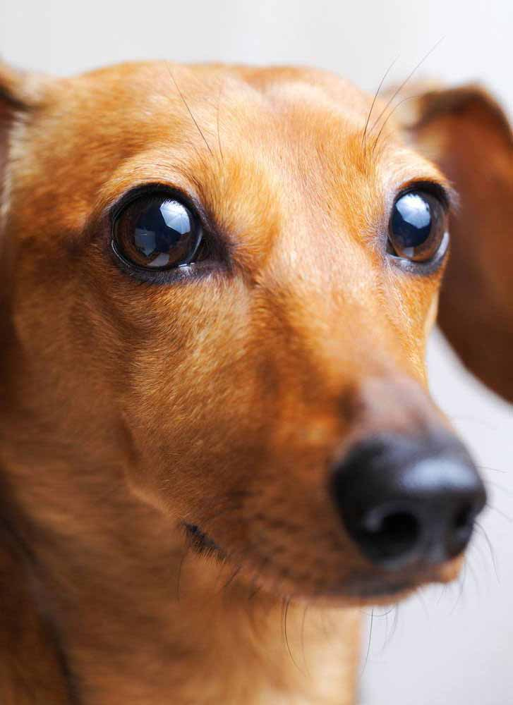 Dachshund with beautiful eyes
