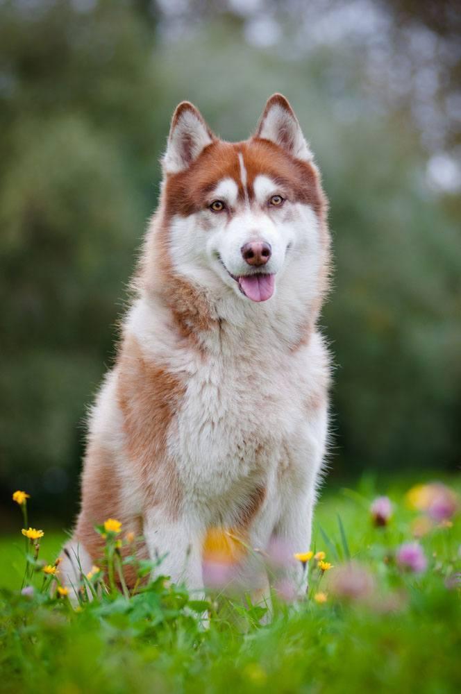 Husky beauty in a meadow