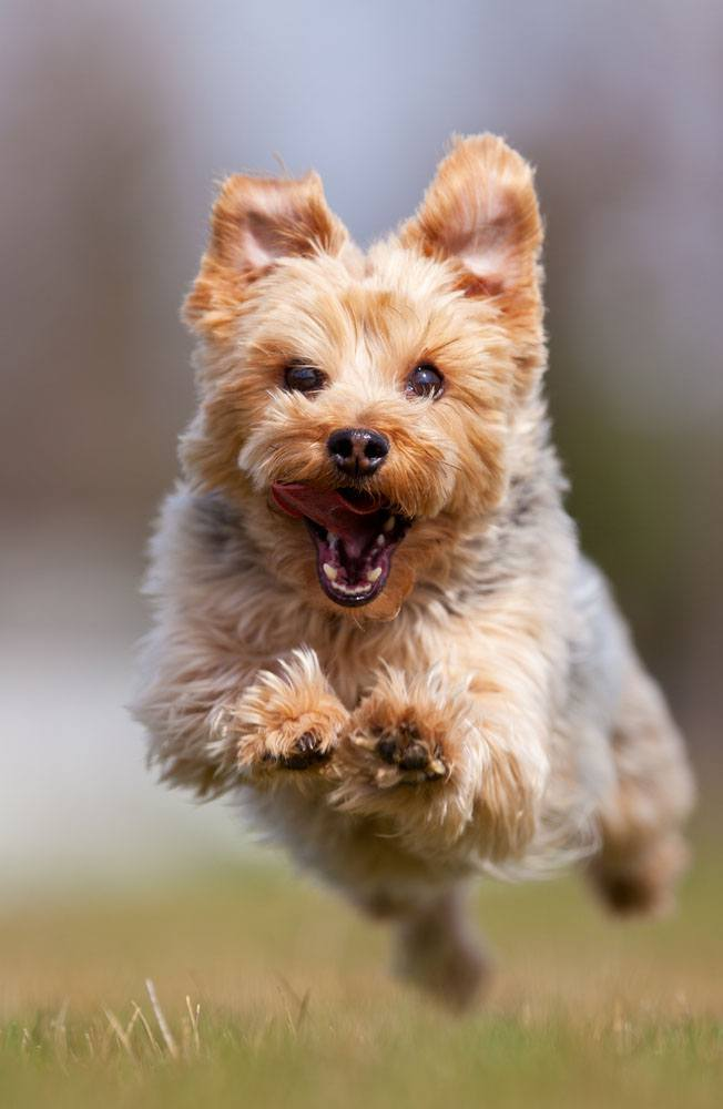 Yorkie running to greet you