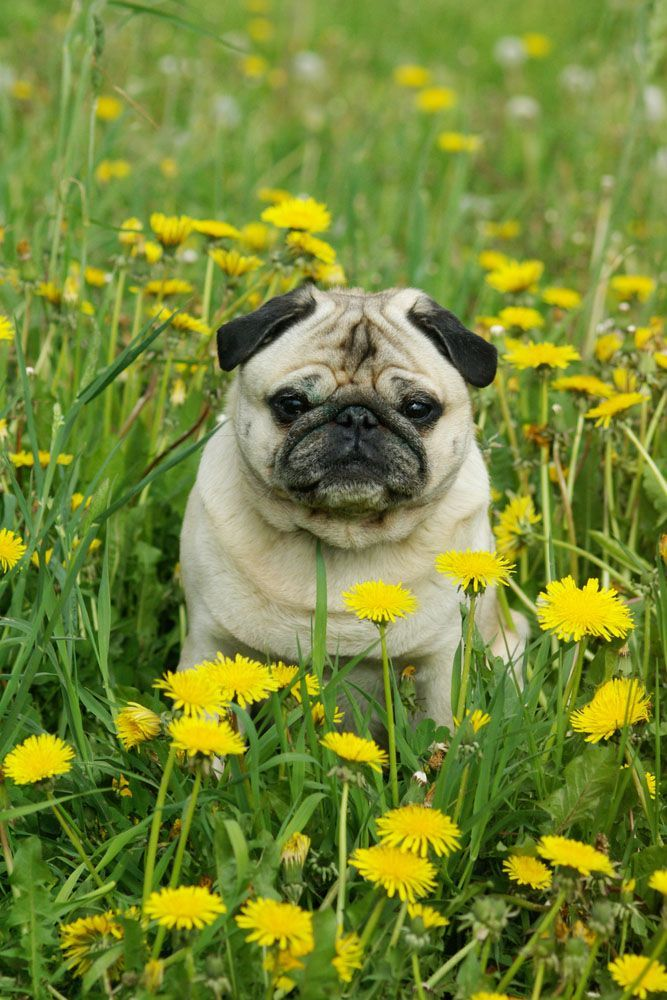 Pugs and flowers, the perfect match