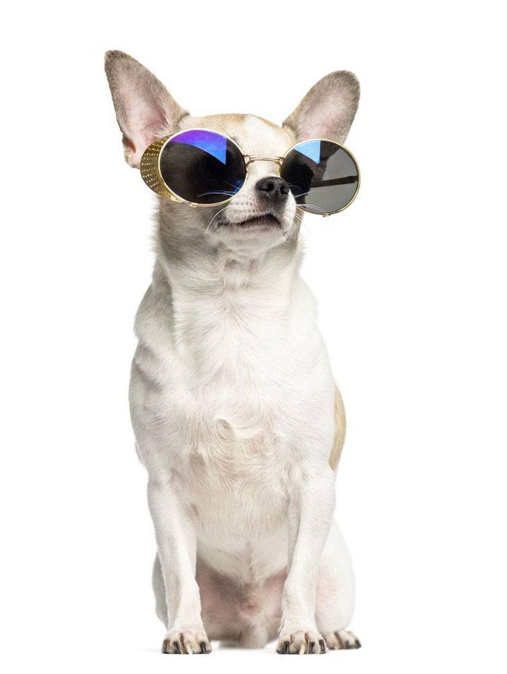Too cool Chihuahua