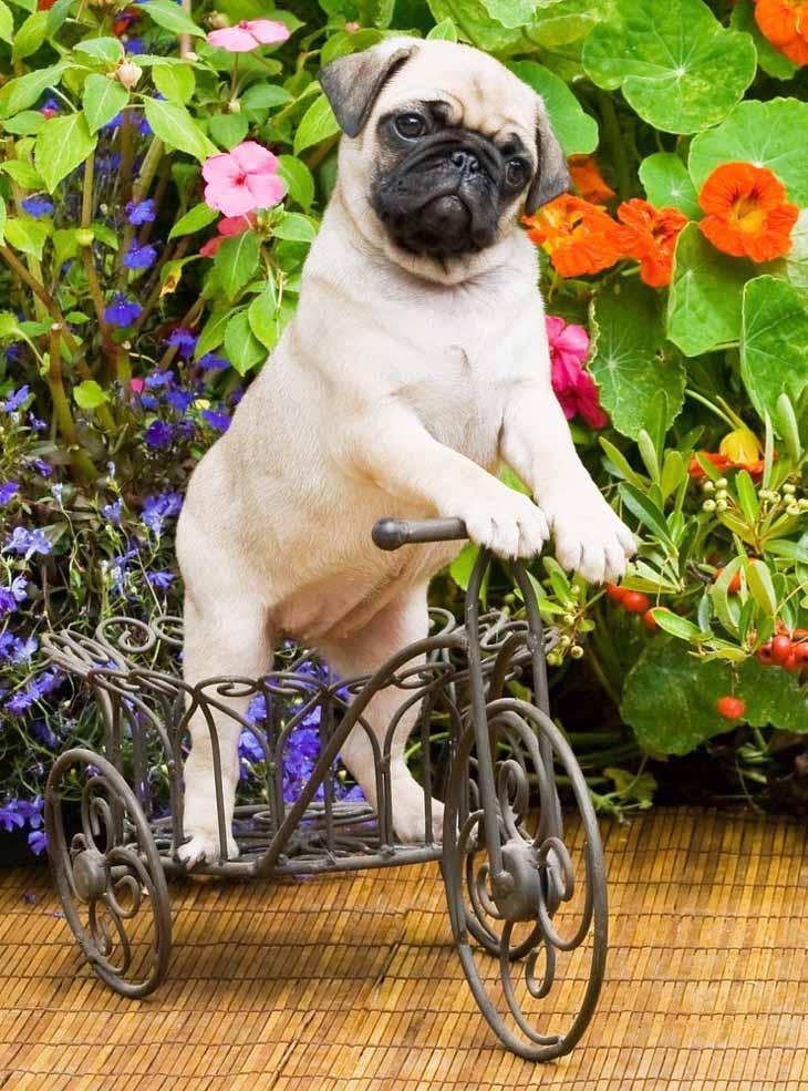 Pug making it's getaway