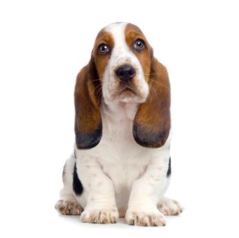Bassett Hound cutie