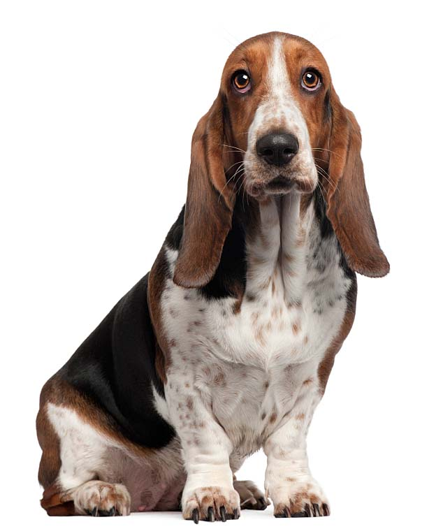 Bassett Hound wanting to see what your eating