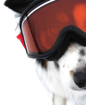 Border Collie loving the ski slopes