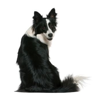 Border Collie waiting for you
