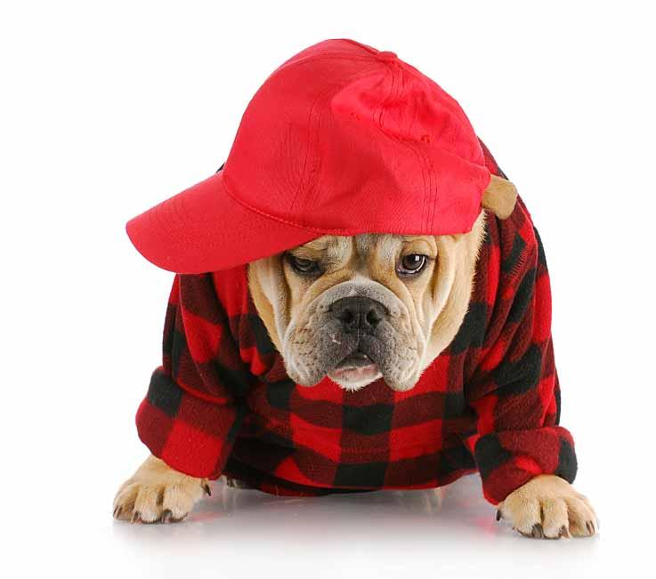 Bulldog hillbilly