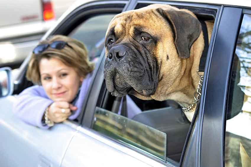Bull Mastiff back seat driver