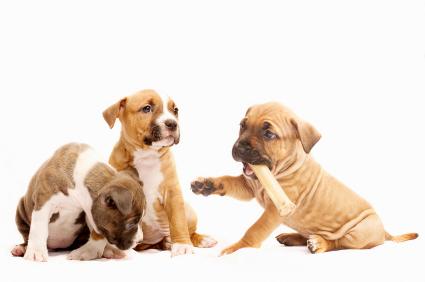 Pit Bull puppies playing around