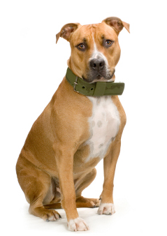 Handsome male Pit Bull