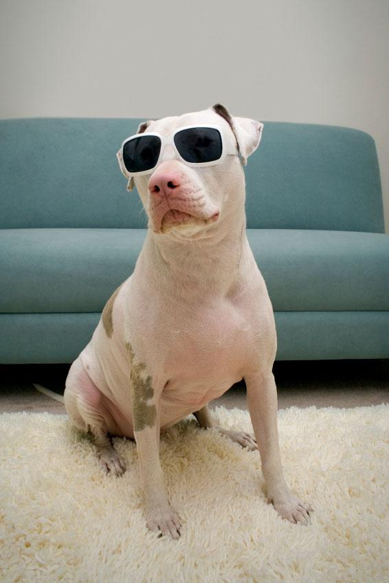 Cool Pit Bull dog