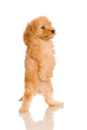 French Poodle puppy stretching for a better look