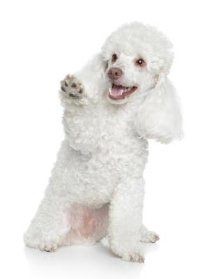 Beautiful white Poodle