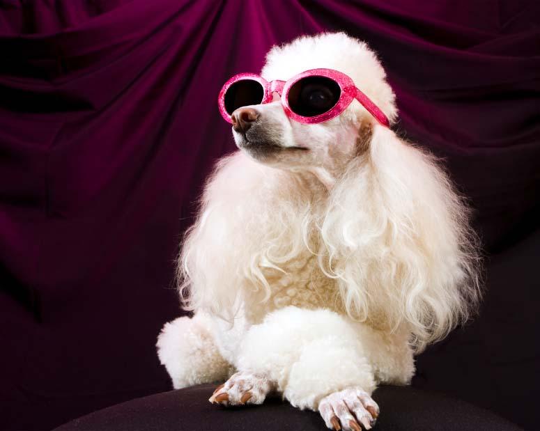 Diva Poodle