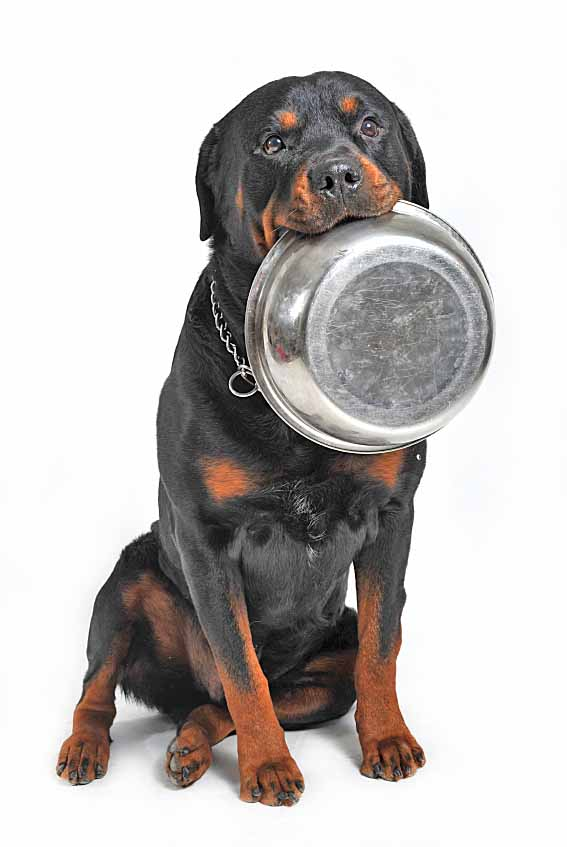 Hungry Rottweiler giving you a hint