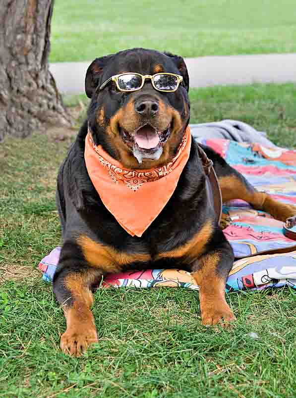 Cool Rottweiler chillin out