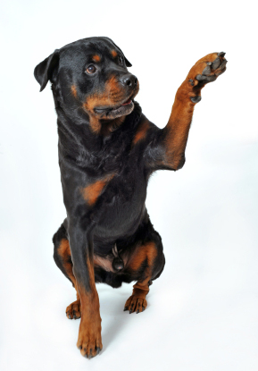Rottweiler wanting to shake paw