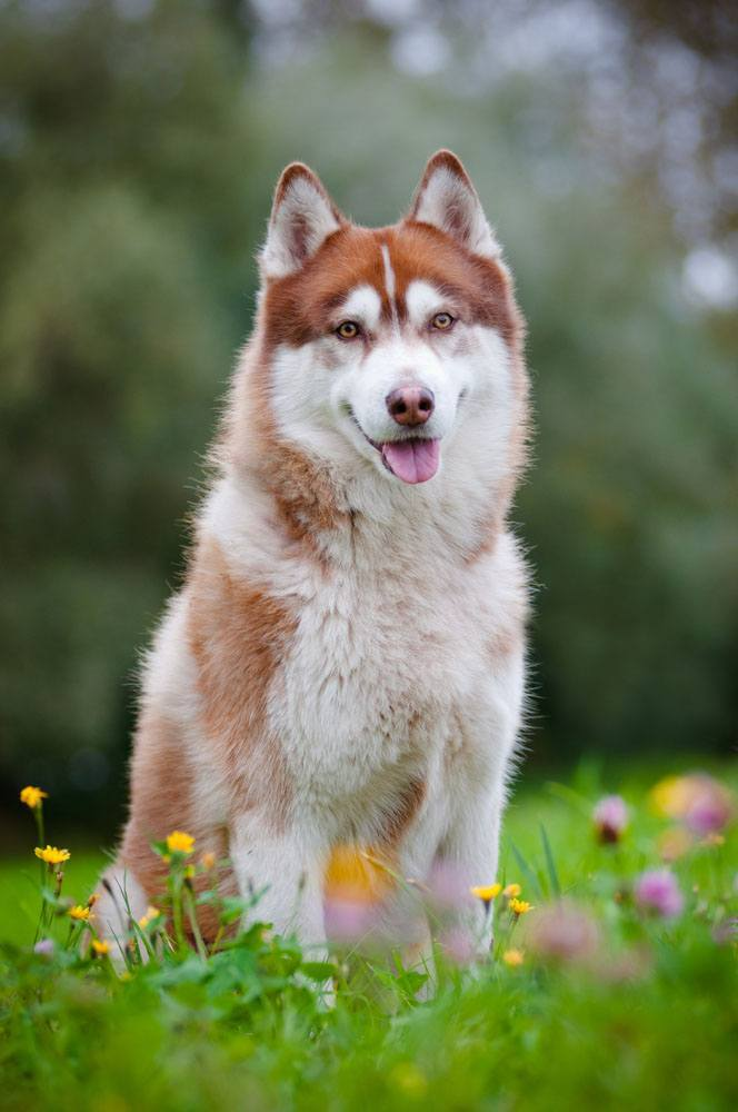 Husky beauty in a meadow