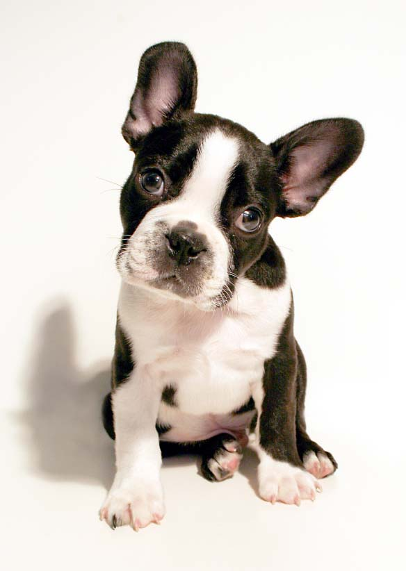 Boston Terrier staring at you
