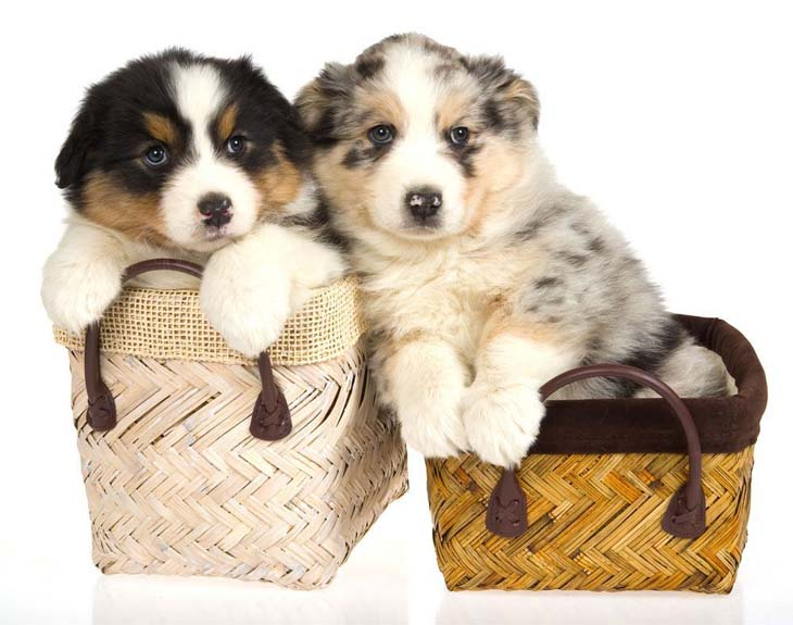 Australian Shepherd puppy cuties