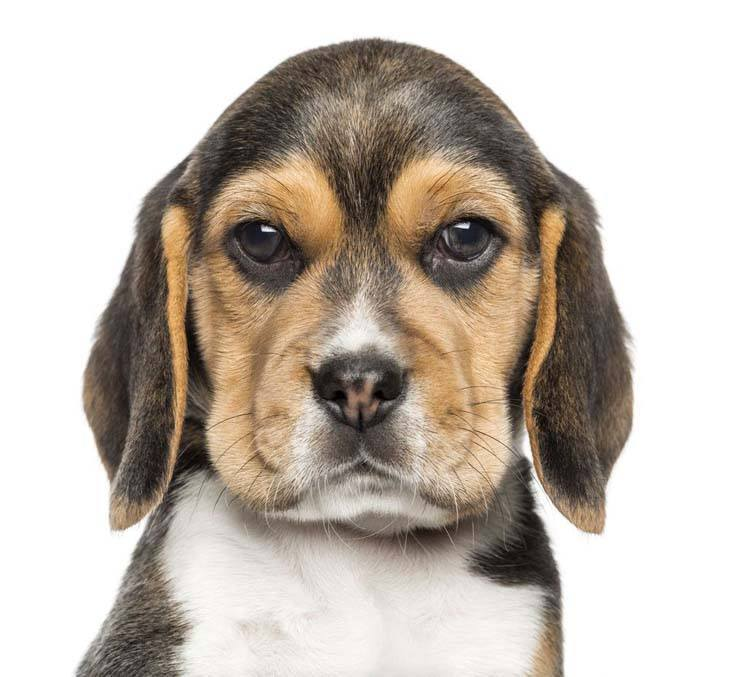 Beagle staredown