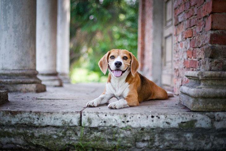 Beagle guard dog
