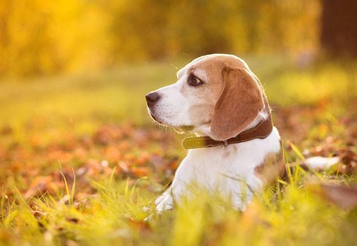 Beagle enjoying the falltime