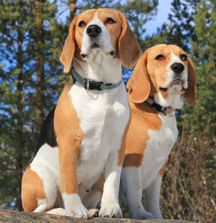 Beagles watching for animals to hunt