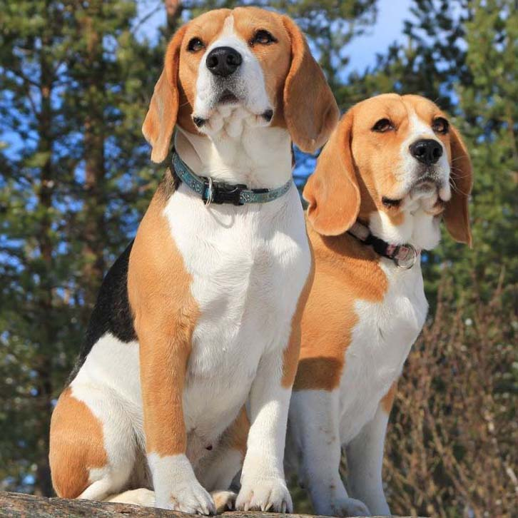 Beagle brothers