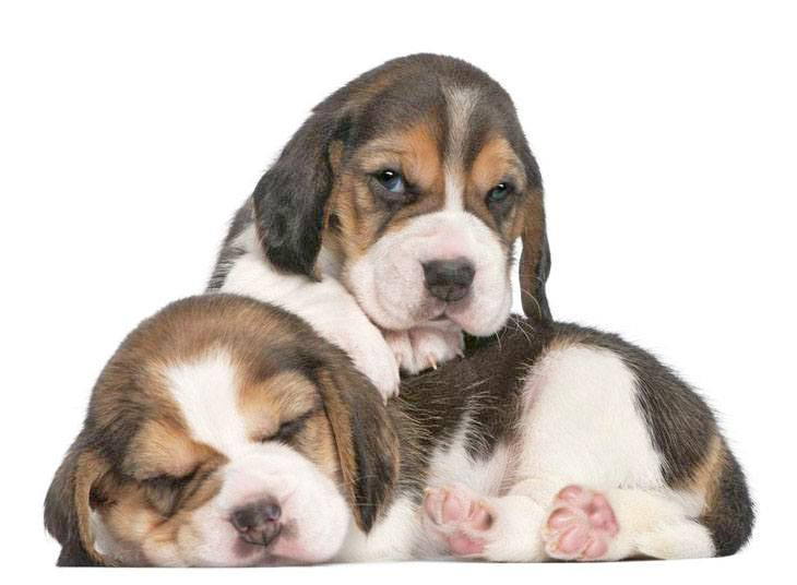 Two Beagles taking a snooze