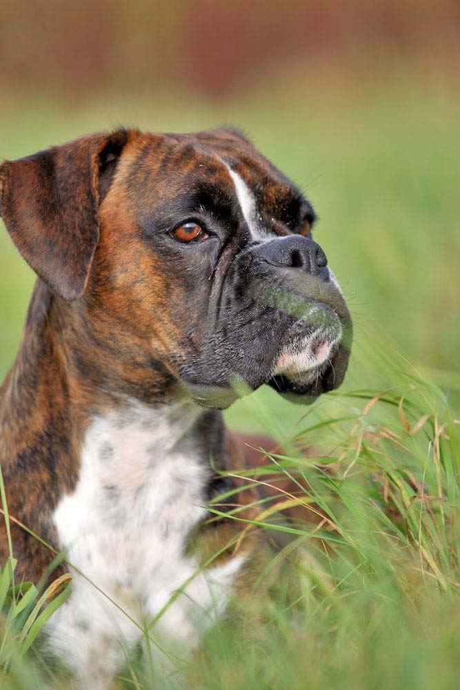 watchful Boxer