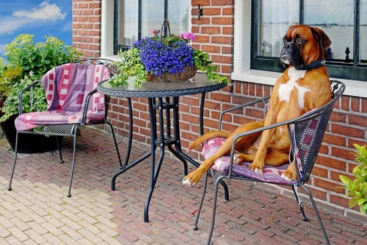 Boxer waiting for a cold drink