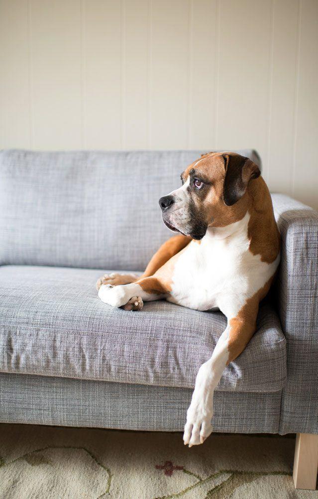 Boxer lounging around