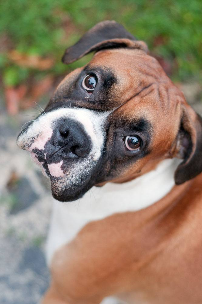Boxer hoping to go for a walk soon