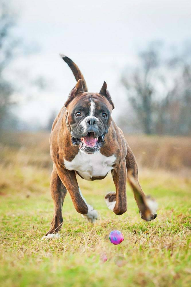 Fast moving Boxer