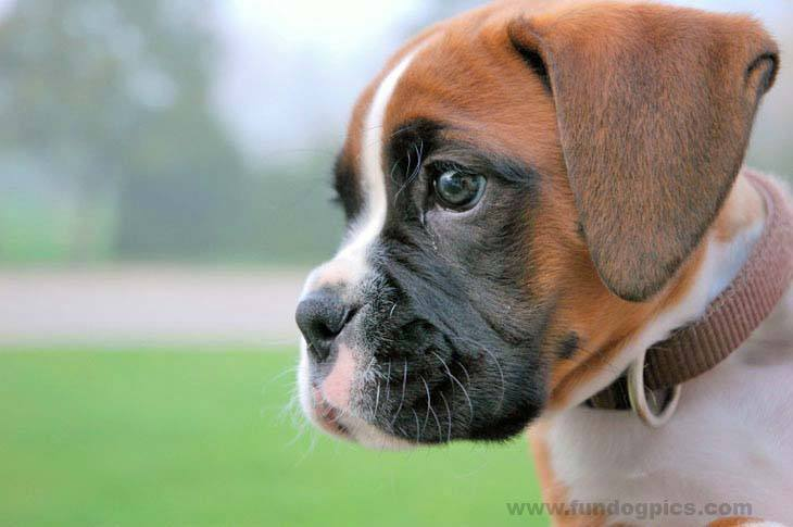 Boxer puppy watching for cats