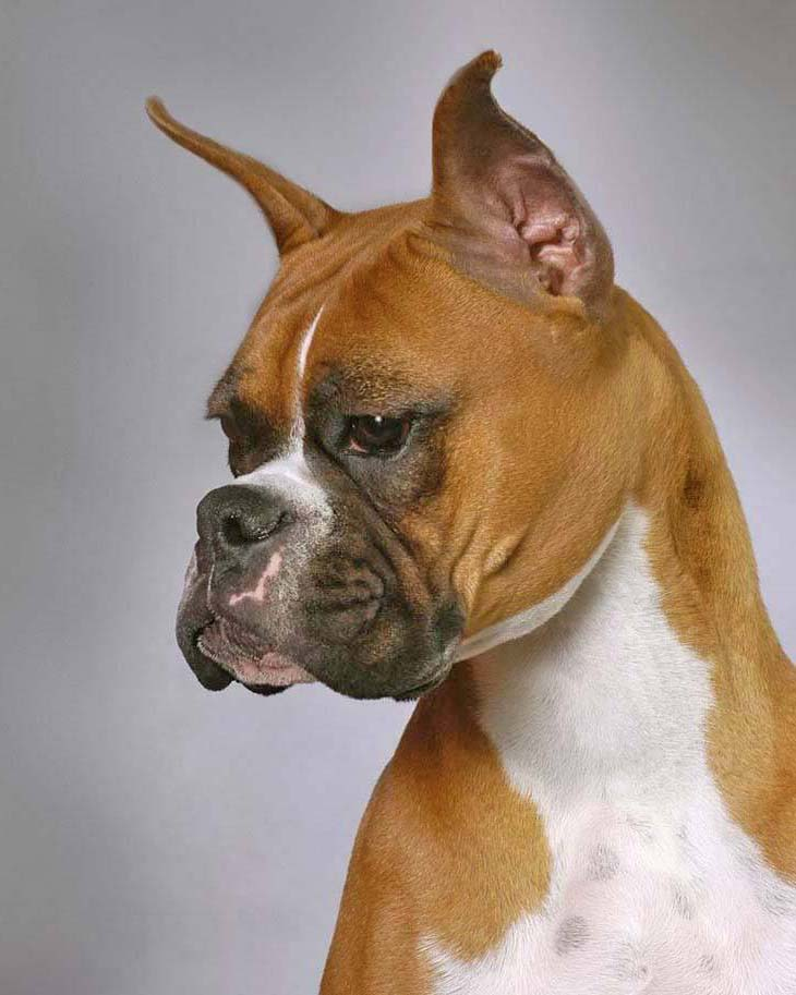 Beautiful Boxer striking a pose