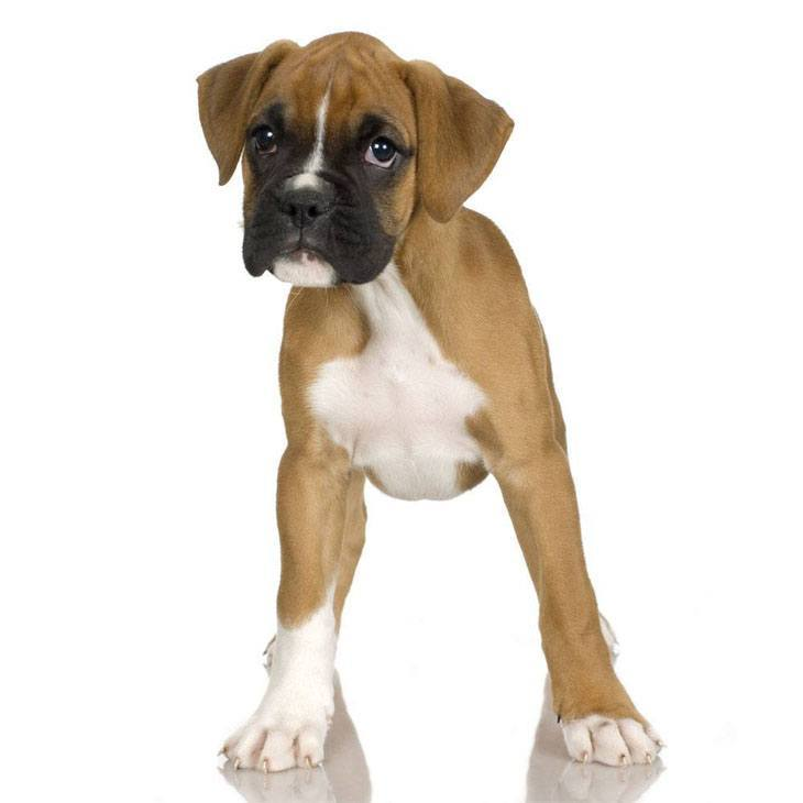 Boxer puppy wanting to play