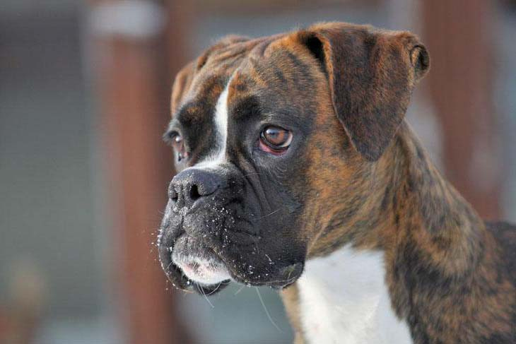 Beautiful Boxer