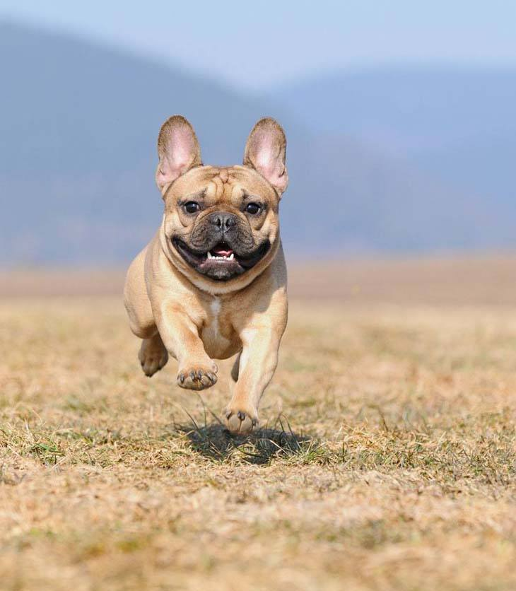 French Bulldog coming in for a landing