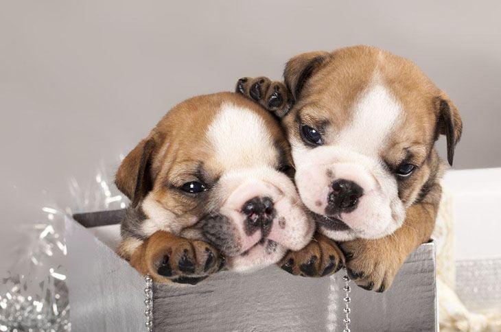 Cute Bulldog brother and sister
