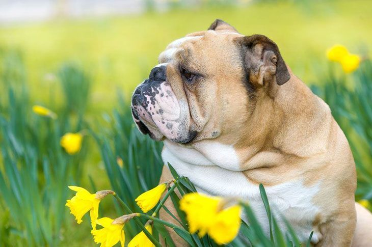 Bulldog enjoying the flowers
