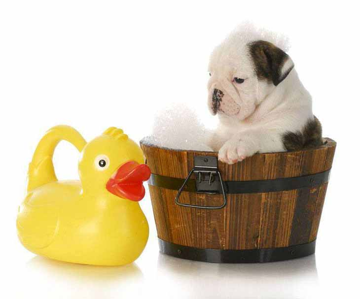 Bulldog bathing beauty and his ducky pal