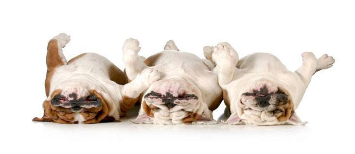 Funny Bulldogs playing dead