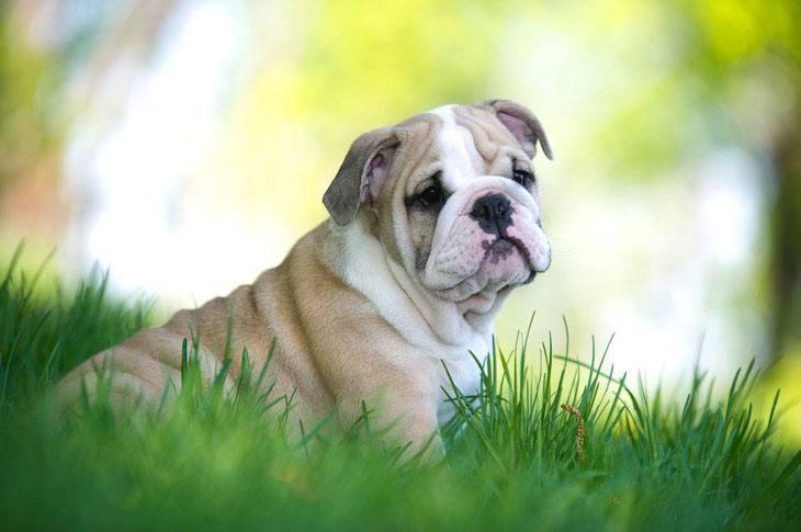 Lonely Bulldog puppy