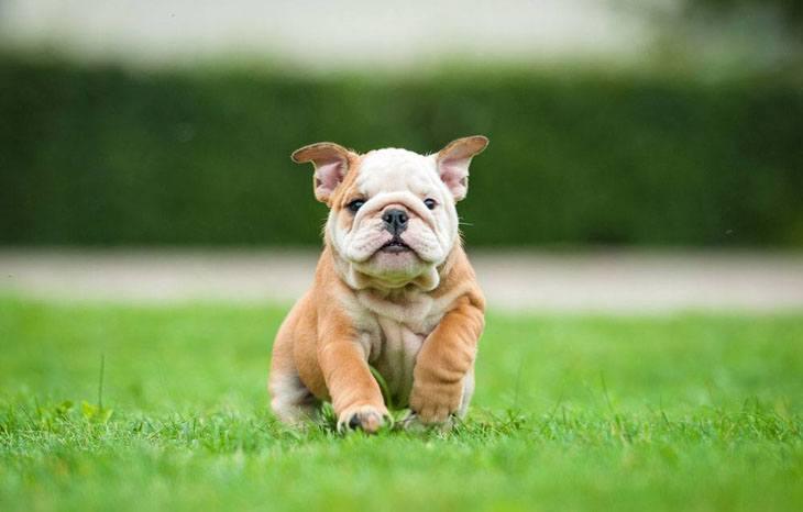 Bulldog puppy surprise