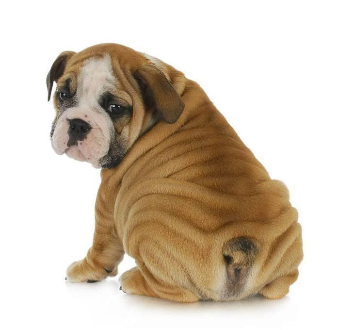 Bashful Bulldog